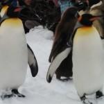【旭川日帰り旅行】旭山動物園 – ペンギンの散歩
