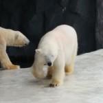 【旭川日帰り旅行】冬の旭山動物園 – 全面クリア